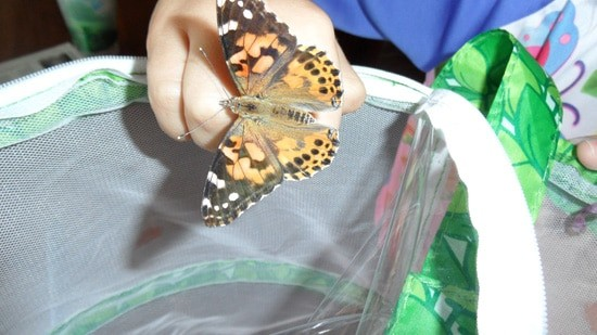 "Mallory loved the experience of ""growing"" butterflies with our Insect Lore kit.  We set the painted ladies free in our backyard, and they occasionally come back to visit us."